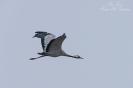 Kraanvogel in vlucht