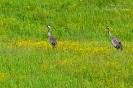 Kraanvogels met jong