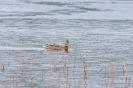 Wilde eend, Bysjön