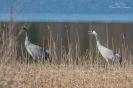 Kraanvogels, Byn