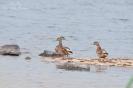Wilde eenden, Bysjön
