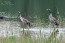 Kraanvogels, Bysjön