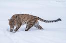 Sneeuwluipaard, Orsa