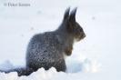 Eekhoorn, Rönnöfors
